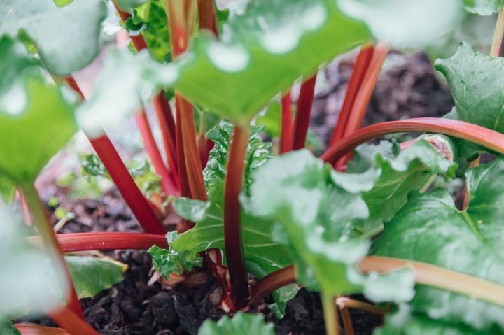 rhubarb plant