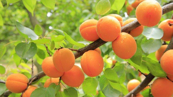 apricots-824626_1280